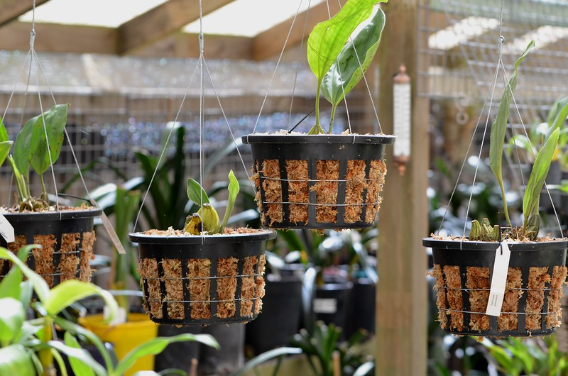 Stanhopea ready to flower