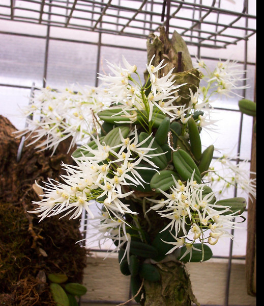 Dendrobium linguiforme in flower <br /> photo, fernacres.com.au      Kinglake west