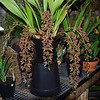 Cymbidium Cricket 'owzat'