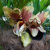 Stanhopea nigroviolacea- native to Central America