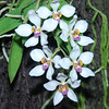 Sarcochilus falacatus, colored
