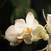 white Orchid _0006
