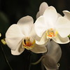 white Orchid _0009