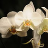 white Orchid _0010