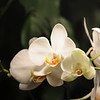 white Orchid _0005