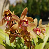 Cymbidium chinatown color combo