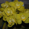 Cymbidium, Pure Golden Treasure 'ingot'
