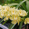 Cymbidium Nina dream 'cameo'