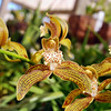 Cymbidium traceyanum, very pleasant perfume