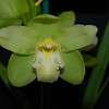 Cymbidium baltic glacier