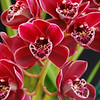 Cymbidium regal nightshade willunga