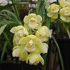 Cymbidium Sleeping Sarah 'yellow delight'