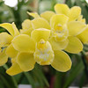 Cymbidium Pure gold