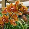 1003 Cymbidium Uluru - orange delight