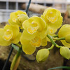Cymbidium Pure Golden treasure 'ingot'