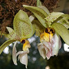 Stanhopea wardii (Mexico to Brazil)