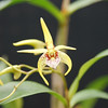 Dendrobium Gold star