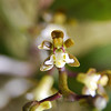 Plectochilus Tridentata, tangle orchid, flower detail