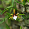 Encyclia polybulbon -- Habitat: Mexico and Central America south to Nicaragua, Jamaica, Cuba.