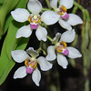 Sarcochilus falcatus color