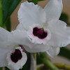 Dendrobium 'the king'