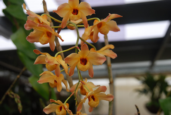 Orchid Species & Hybrids