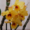 Dendrobium 'golden blossum - rosy tips