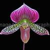 Paphiopedilum Maudiae Hybrid