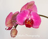 Pink Phalaenopsis Orchid isolated on off-white background