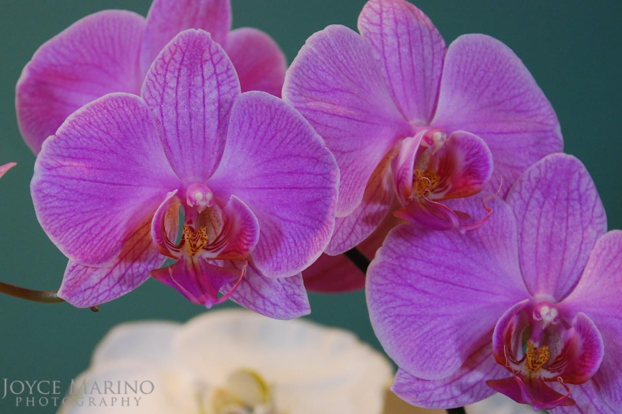 Orchids -- DSC_0118