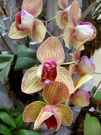One of the orchids in the conservatory at Kauffman Memorial Garden.