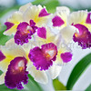 Cattleya (Melody Fair x Tropical Song) 'Triple Scoop'