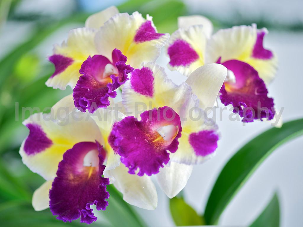 Cattleya (Melody Fair x Tropical Song) 'Triple Scoop'