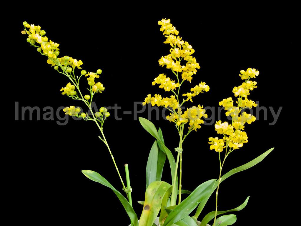 Oncidium Cheirophorum