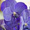 Vanda 'Mishima Blue'