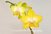 Yellow Phalaenopsis Orchid isolated on off-white background