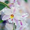 Odontioda Orchids