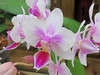 White and pink orchids.