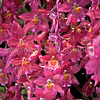 Red Odontoglossum Orchids