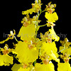Yellow Oncidium