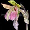 Orchid Paphiopedilum Bellatulum x Transvaal 'Sawako'