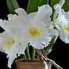 Cattleya Orchid BC Pastoral Innocence AM/AOS