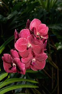 Red Vanda Orchids, Montréal Botanical Garden , Montréal, Quebec, Canada.