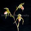 Multifloral Paphiopedilum Slipper Orchid