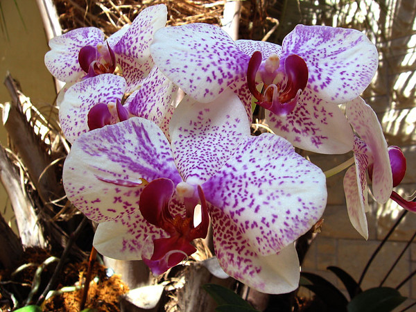 Purple speckled orchids.