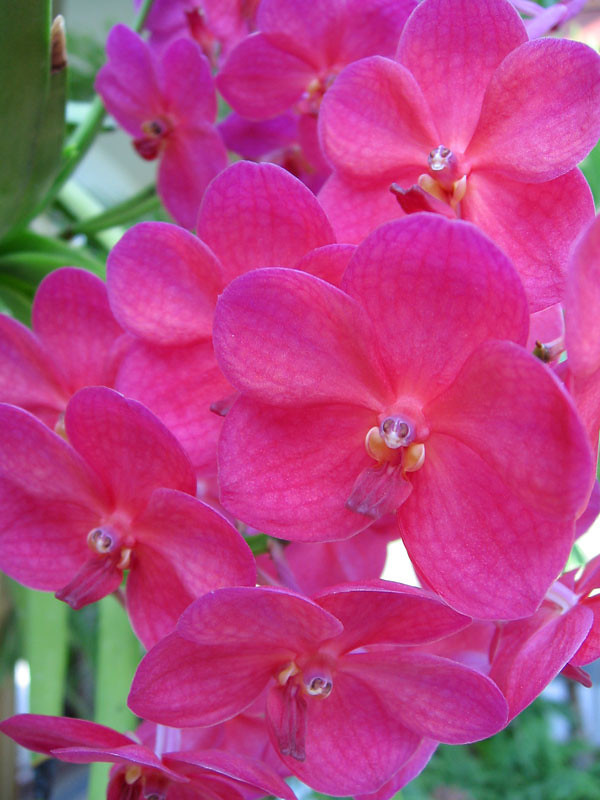 Pink orchids.