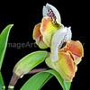 Paphiopedilum Yadorigi x Acclamation double flower