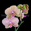 Spotted Phalaenopsis Orchid
