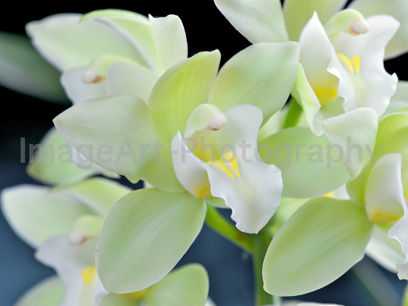 "Cymbidium Orchid ""Mem. Jacqueline Oyston 'Icy Princess'"""