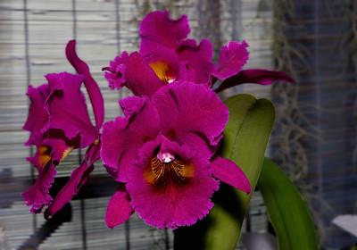 Mauve Laeliocattleya Orchids, Montréal Botanical Garden , Montréal, Quebec, Canada.